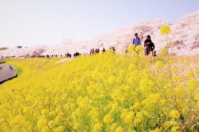 延々と続くピンクと黄色のコラボレーション ~圧巻の熊谷桜堤~