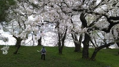 満開の山形城跡・霞城公園へ     2泊3日、桜を追い求めた旅