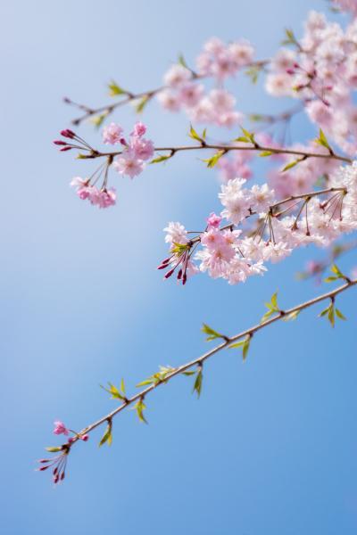 春の奈良へ_2. 大神神社、長谷寺と又兵衛桜