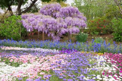 春のあしかがフラワーパーク。早咲きの藤と優しい彩りが楽しい春の庭。