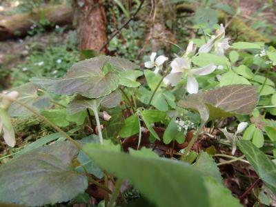 裏高尾(5) 春の野花散策