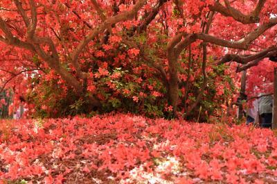 名勝 「躑躅ヶ丘」 日本一のツツジの名園