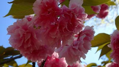たんたん小道の八重桜を確認に行きました 上巻。