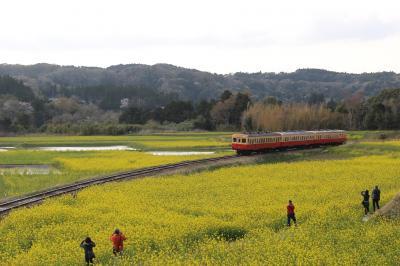 桜と菜の花満開の小湊鉄道