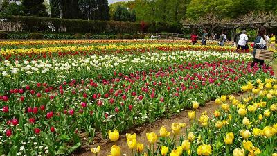 県立加西フラワーセンターのチューリップ祭りに行く(1) 中央花壇と風車前花壇の風景。
