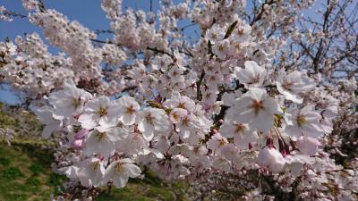 山形県の桜は、今が見ごろでした!