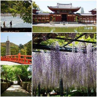 桜のお次は藤観賞!京都は宇治の平等院へ。