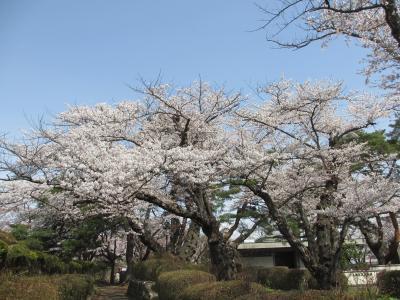 初めての水沢、公園の桜と国立天文台