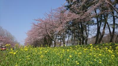 秋田 角館で桜を満喫………かな?
