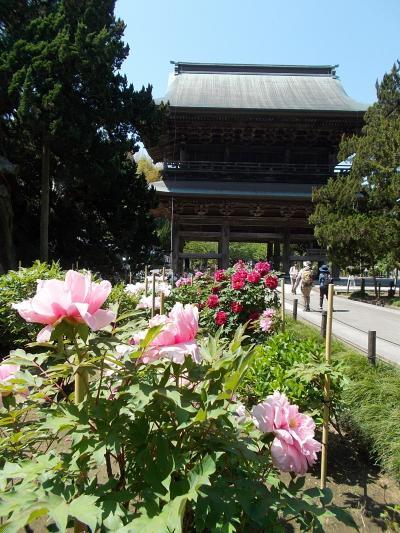 早朝、ベッド!で 思い立ち 「行ってみよう・・の 姉妹で、鎌倉散歩」。(30年ぶり!に 訪問した「北鎌倉 & 江ノ電・界隈」)