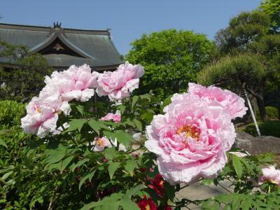恩林寺のボタン_2018_前々日の雨にも負けず、綺麗に咲いています。(群馬県・邑楽町)