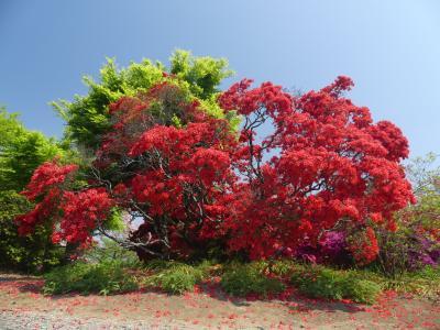 つつじが岡第二公園のツツジ_2018_例年よりもだいぶ早く、見事に咲き揃っています。(群馬県・館林市)