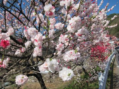 日本一の桃源郷・阿智村月川温泉の花桃と信州木曽の旅