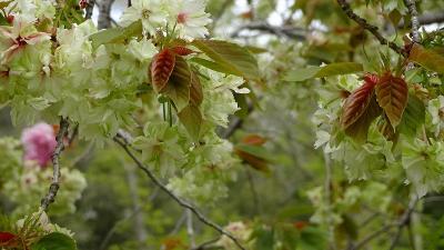 県立加西フラワーセンターのチューリップ祭りに行く(5) さくら園に咲く八重桜。