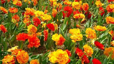 県立加西フラワーセンターのチューリップ祭りに行く(6) 亀の倉池を半周して、林床花壇のチューリップ。