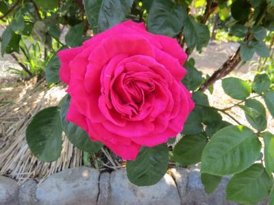 日比谷花壇 大船フラワーセンター (その3)  バラ園・しゃくやく園