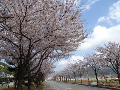 巨済島 コヒョンバスターミナルから歩いて行ける桜のスポット