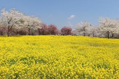 群馬、桜の旅(赤城南面千本桜、東吾妻町・岩井親水公園、藤岡の古墳)