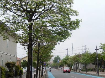 ふじみ野市鶴ケ岡中央通りのハナミズキその後