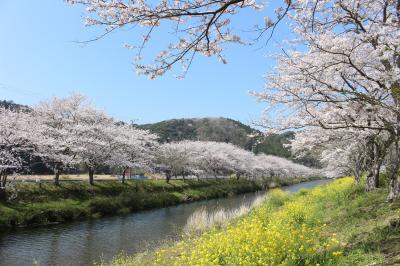 西伊豆・松崎へ桜を見に行ってみました