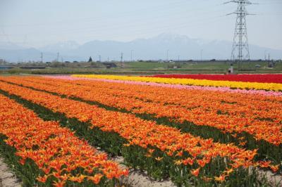 2018春 新潟の花チューリップを満喫!五泉市チューリップ祭りと胎内チューリップ畑