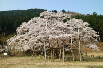 岐阜県で桜を満喫  念願の満開 淡墨桜&岐阜のマチュピチュ