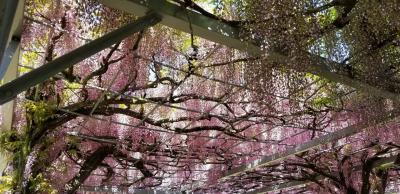 こんなところに藤棚が「中山神明神社」