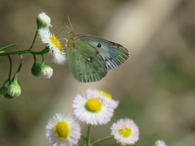 森のさんぽ道で見られた蝶①