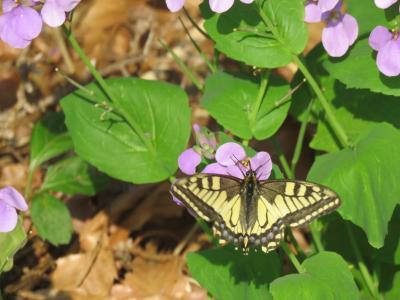森のさんぽ道で見られた蝶②