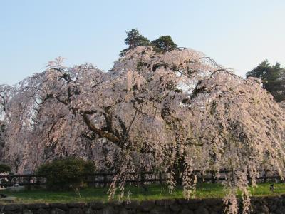 弘前の桜は満開!青森健康ランドもね!