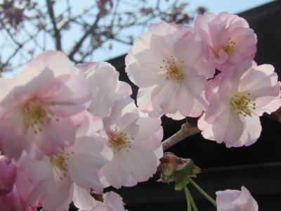松前はまだ少ししか咲いてないけど、函館は満開!