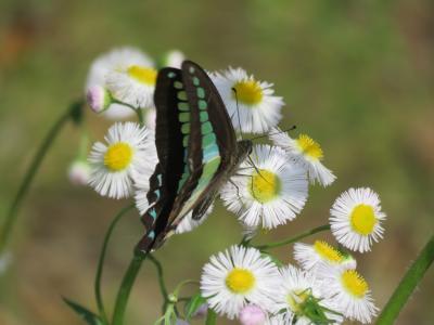 森のさんぽ道で見られた蝶③