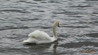 白鳥のいる山中湖と河口湖をドライブ