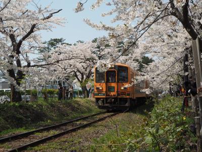太宰治の桜