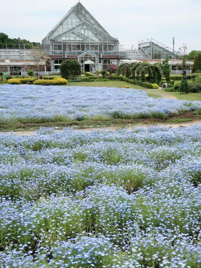 野田-2 花ファンタジア ネモフィラ 一面の花園 ☆「林を愛する」意味の澄んだ青系色