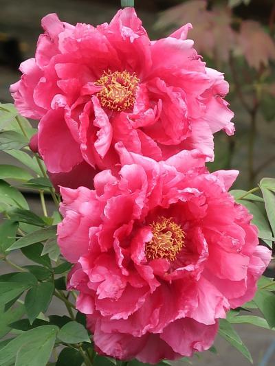 野田-3 花ファンタジア 牡丹園 ボタン咲き競い ☆「百花の王」の華やかさ