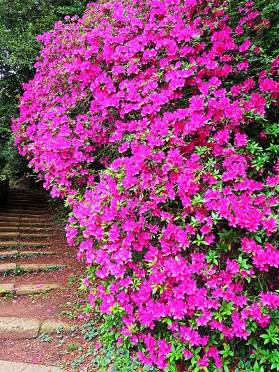 野田-6 清水公園 つつじの名所 自然樹形の古木 ☆展望台からの眺めも