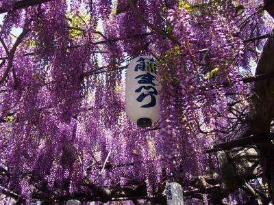 泉南・信達宿の藤の花 ジャガオ(22歳)が死んだの(T_T)天王寺動物園