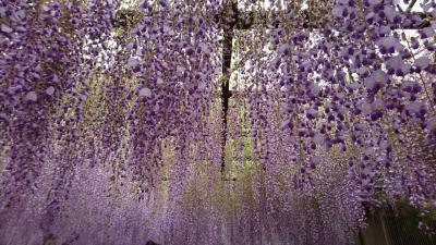 岡山☆満開の藤を楽しみました