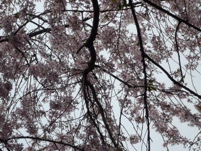 桜を見に 伊東温泉へ