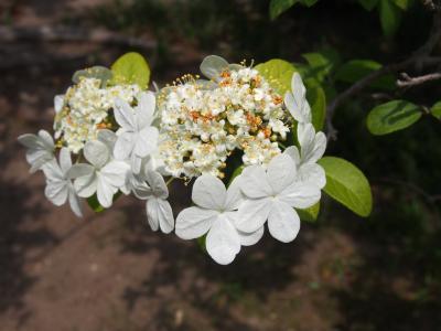 瓊花(けいか)の咲く唐招提寺