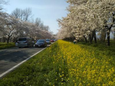 秋田県の桜の名所 その2・大潟村