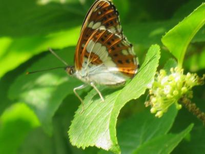 森のさんぽ道で見られた蝶④イチモンジチョウがみられました
