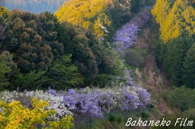 青い龍が駆け上る 和歌山 みやまの里 日本最長という藤の回廊