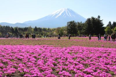 富士山と芝桜&チューリップ、ネモフィラ(富士芝桜まつりと花の都公園)