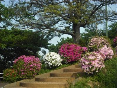 2018年4月 山口・山陽小野田市 竜王山公園にツツジを見に行きました。猫がいっぱいいました。。