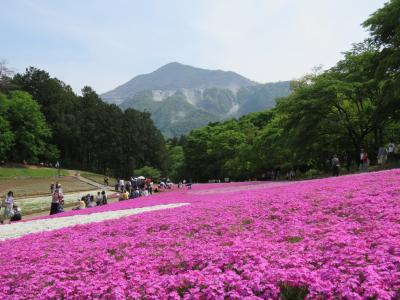 はとバス日帰り旅:圧巻!羊山公園の芝桜とあしかが藤のライトアップに行ってきました。