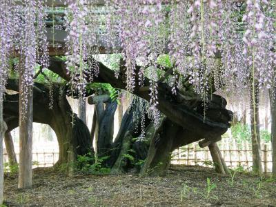 毎年恒例の加須市の玉敷神社の大藤を愛でに・・・1 大ふじを愛でる