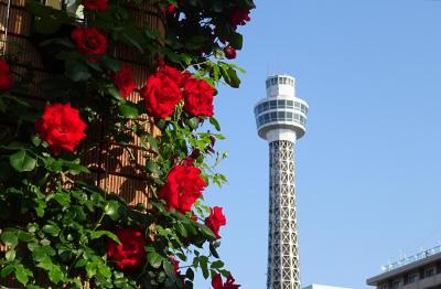 横浜ぶらぶら 県立歴史博物館、横浜三塔一望、山下公園のバラ