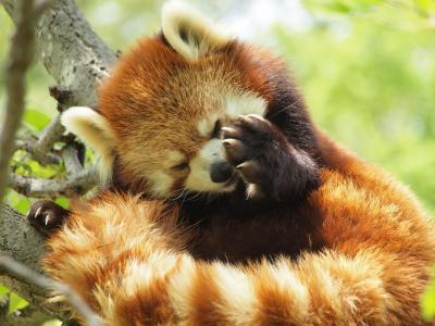 レッサーパンダに会いに茶臼山動物園へ かわいいレッサーパンダとウサギに癒される ランチはおいしい姨捨の棚田丼